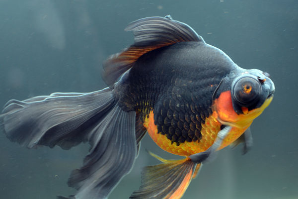 The sick goldfish which had turned black