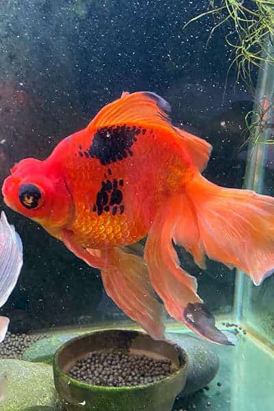 Monstro the goldfish back to full health