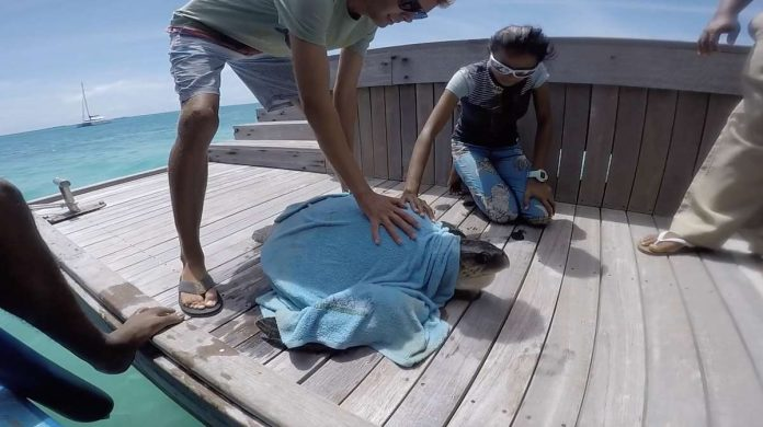 Olive Ridley turtle being released back into water