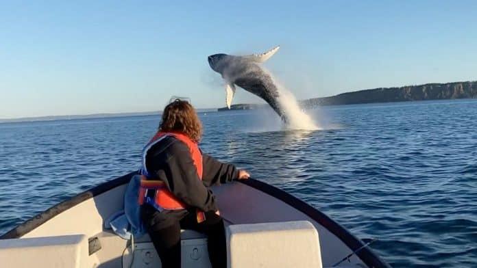 humpback whales breach