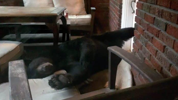 bear naps on porch